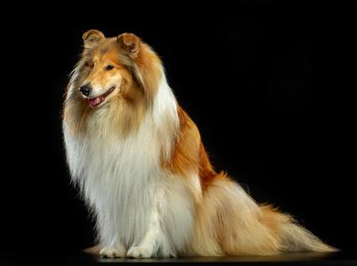 Hund Collie Retro Vintage